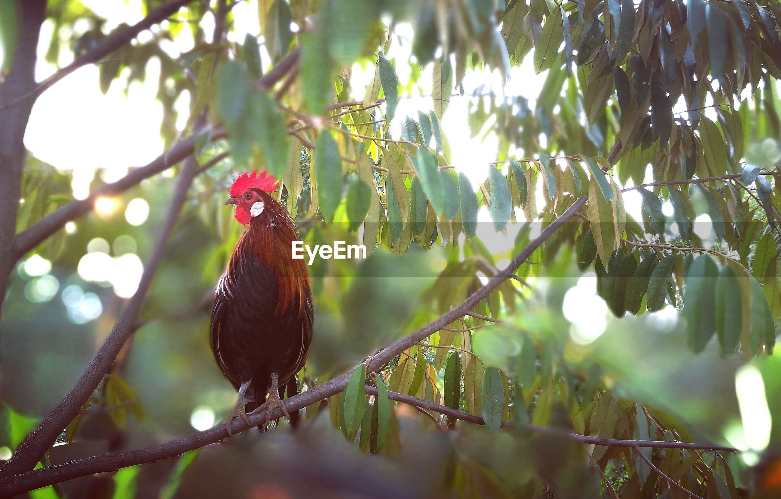 Rooster perching on tree branch