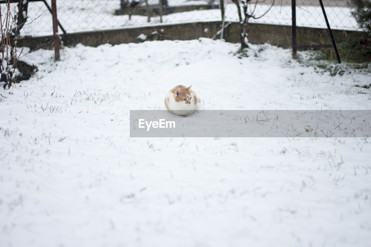one animal, animal themes, snow, cold temperature, white color, nature, winter, day, no people, animals in the wild, outdoors, animal wildlife, close-up, beauty in nature