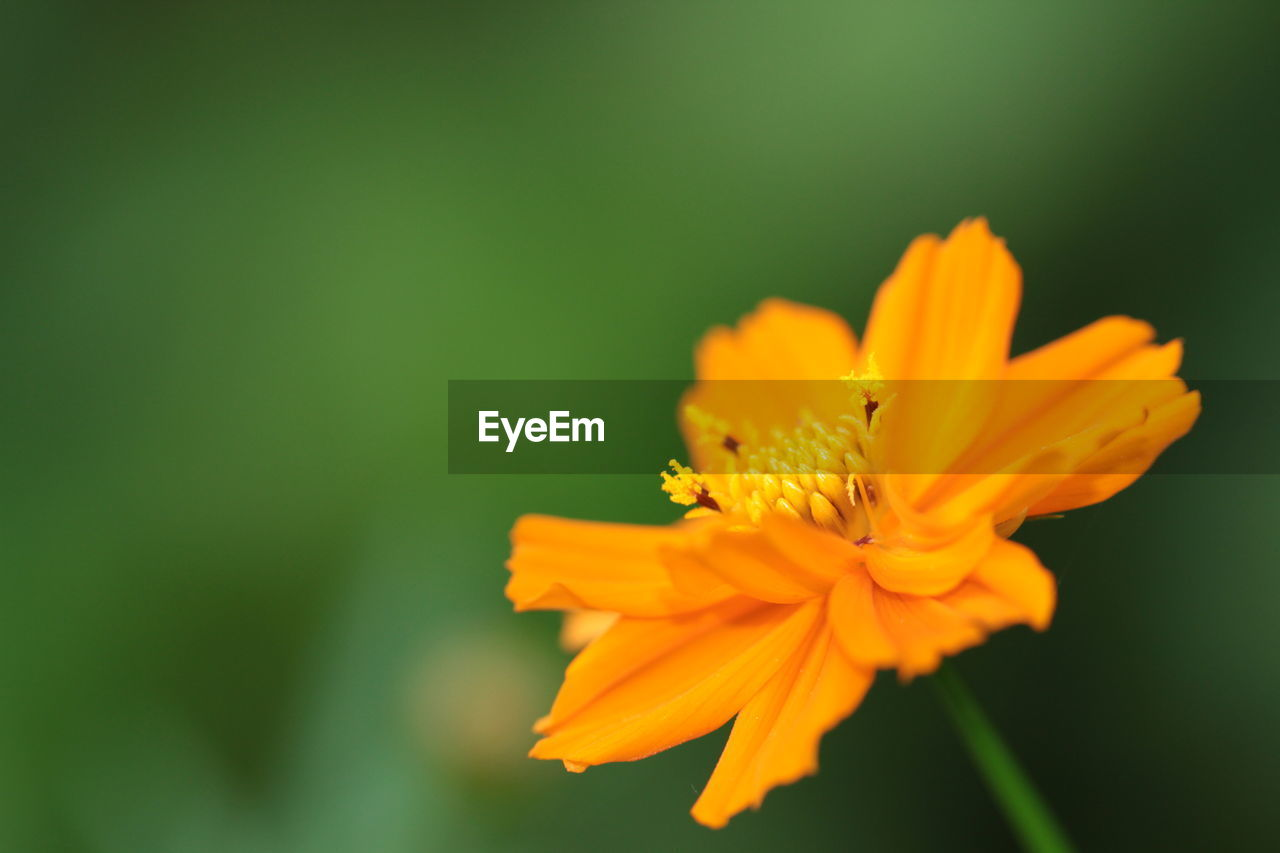 flower, petal, fragility, nature, beauty in nature, yellow, flower head, freshness, plant, growth, no people, close-up, blooming, outdoors, focus on foreground, cosmos flower, day