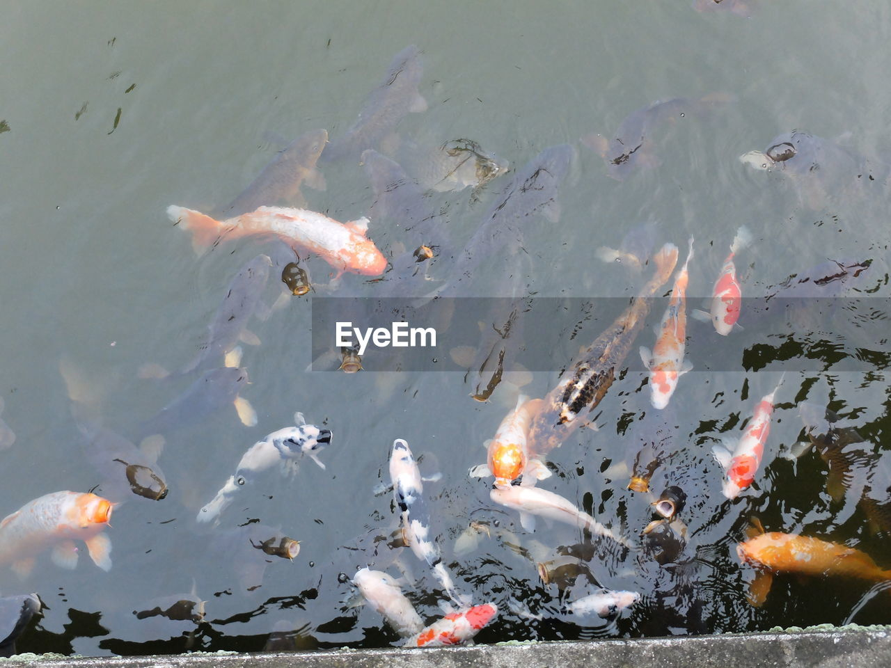 water, animal themes, large group of animals, swimming, high angle view, animals in the wild, fish, koi carp, nature, no people, lake, waterfront, day, outdoors, carp, animal wildlife, motion, sea life
