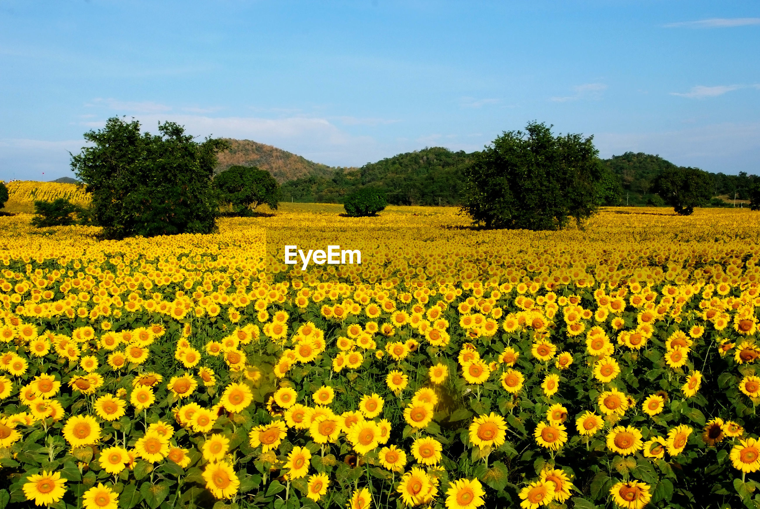 SCENIC VIEW OF FLOWERING FIELD AGAINST YELLOW SKY