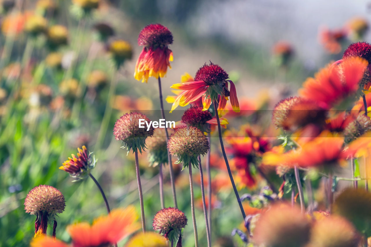 flowering plant, flower, growth, plant, fragility, freshness, beauty in nature, vulnerability, close-up, selective focus, petal, inflorescence, flower head, nature, plant stem, no people, coneflower, day, orange color, focus on foreground