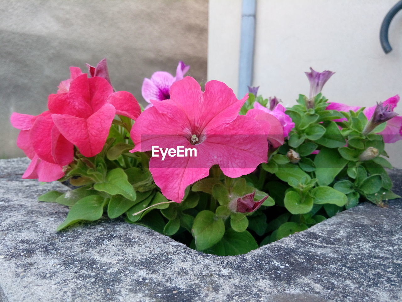 flowering plant, flower, plant, petal, vulnerability, beauty in nature, freshness, fragility, pink color, close-up, inflorescence, growth, flower head, nature, leaf, plant part, no people, day, outdoors, focus on foreground, flower pot