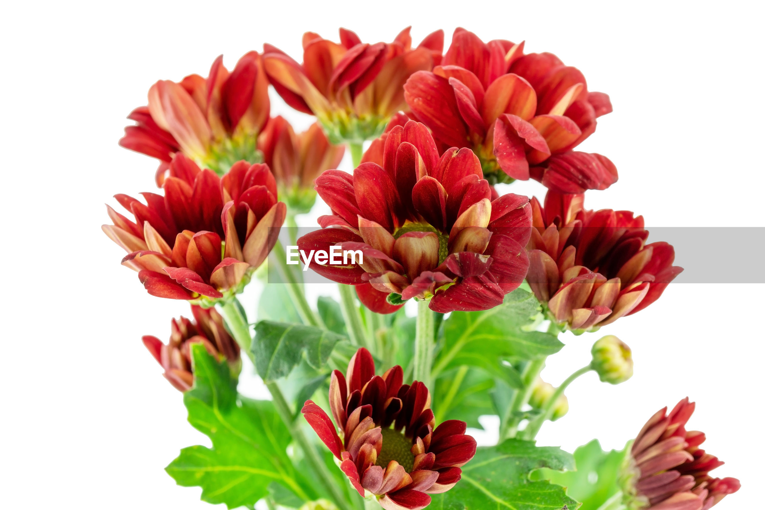 CLOSE-UP OF RED FLOWERS OVER WHITE BACKGROUND