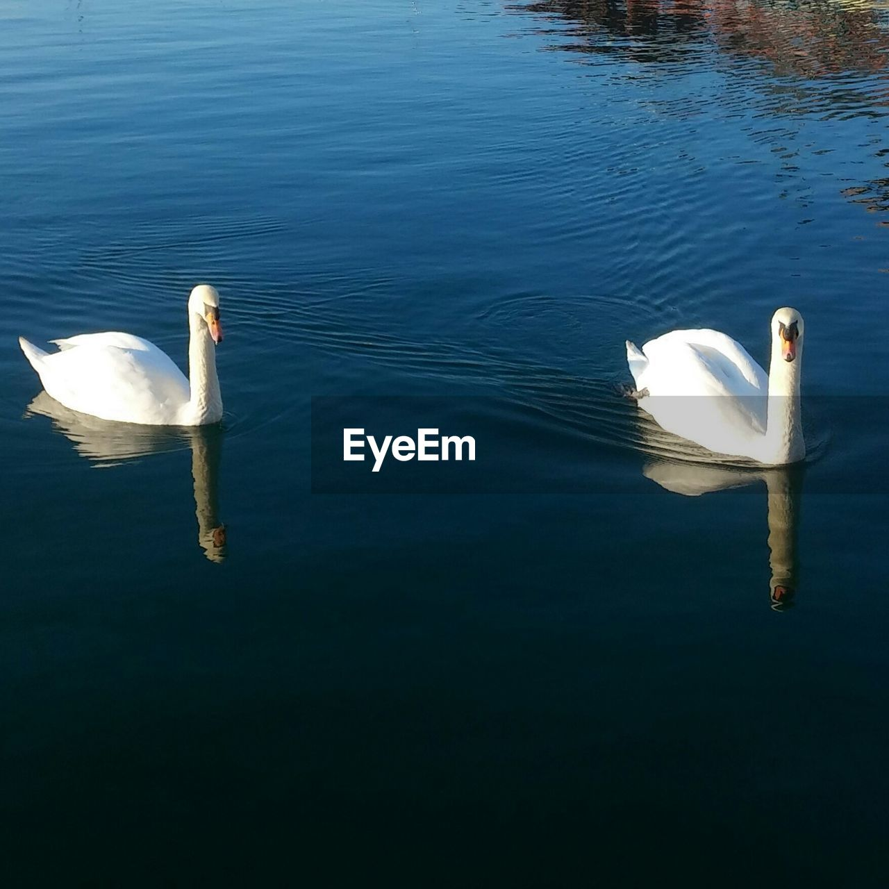 swan, animals in the wild, lake, water, animal themes, swimming, bird, white color, nature, day, high angle view, reflection, water bird, no people, animal wildlife, outdoors, waterfront, one animal, beauty in nature
