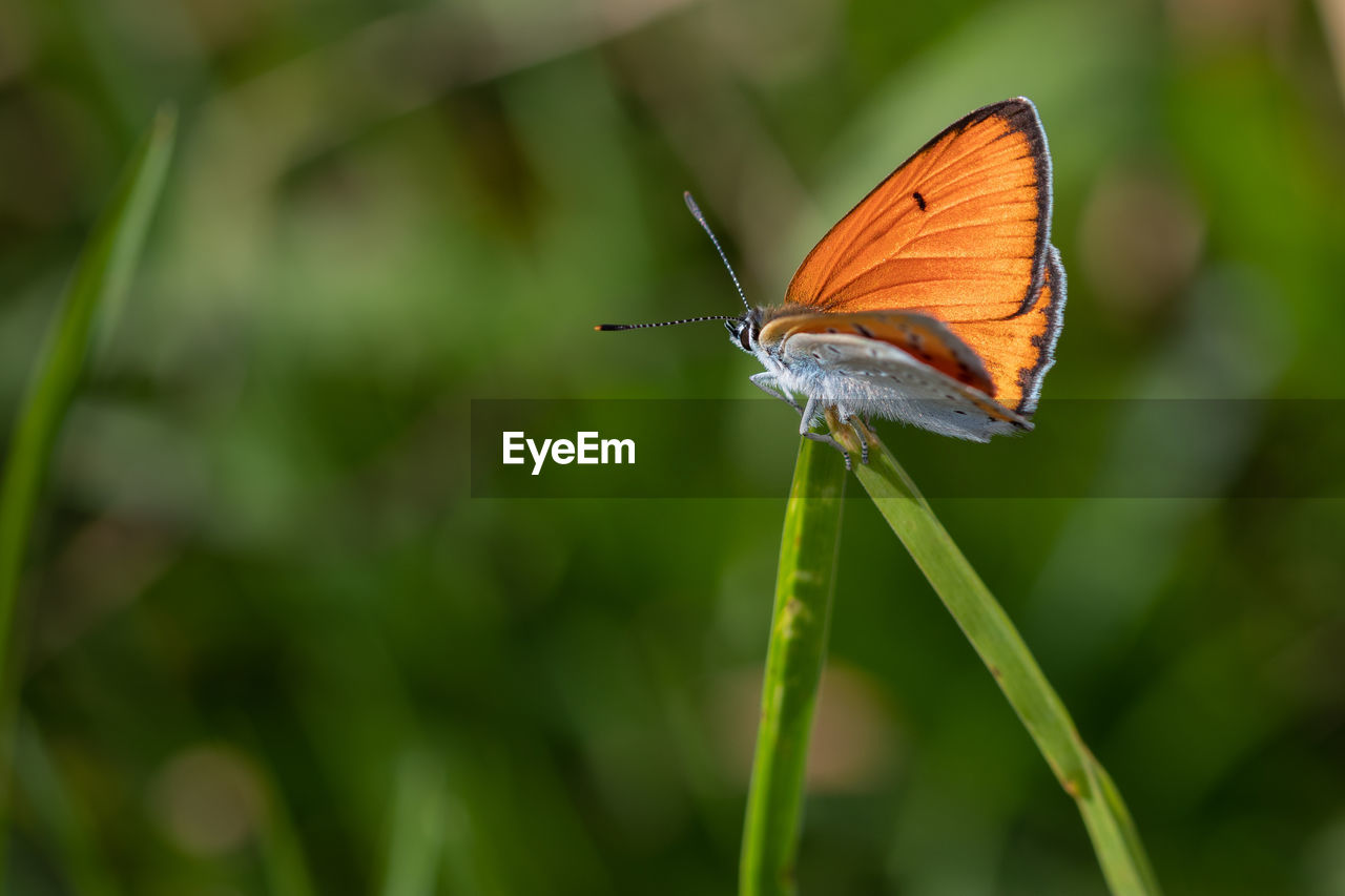 invertebrate, insect, animal wildlife, animal themes, one animal, animals in the wild, animal, animal wing, butterfly - insect, plant, close-up, green color, beauty in nature, focus on foreground, day, nature, growth, no people, orange color, plant part, outdoors, butterfly, blade of grass