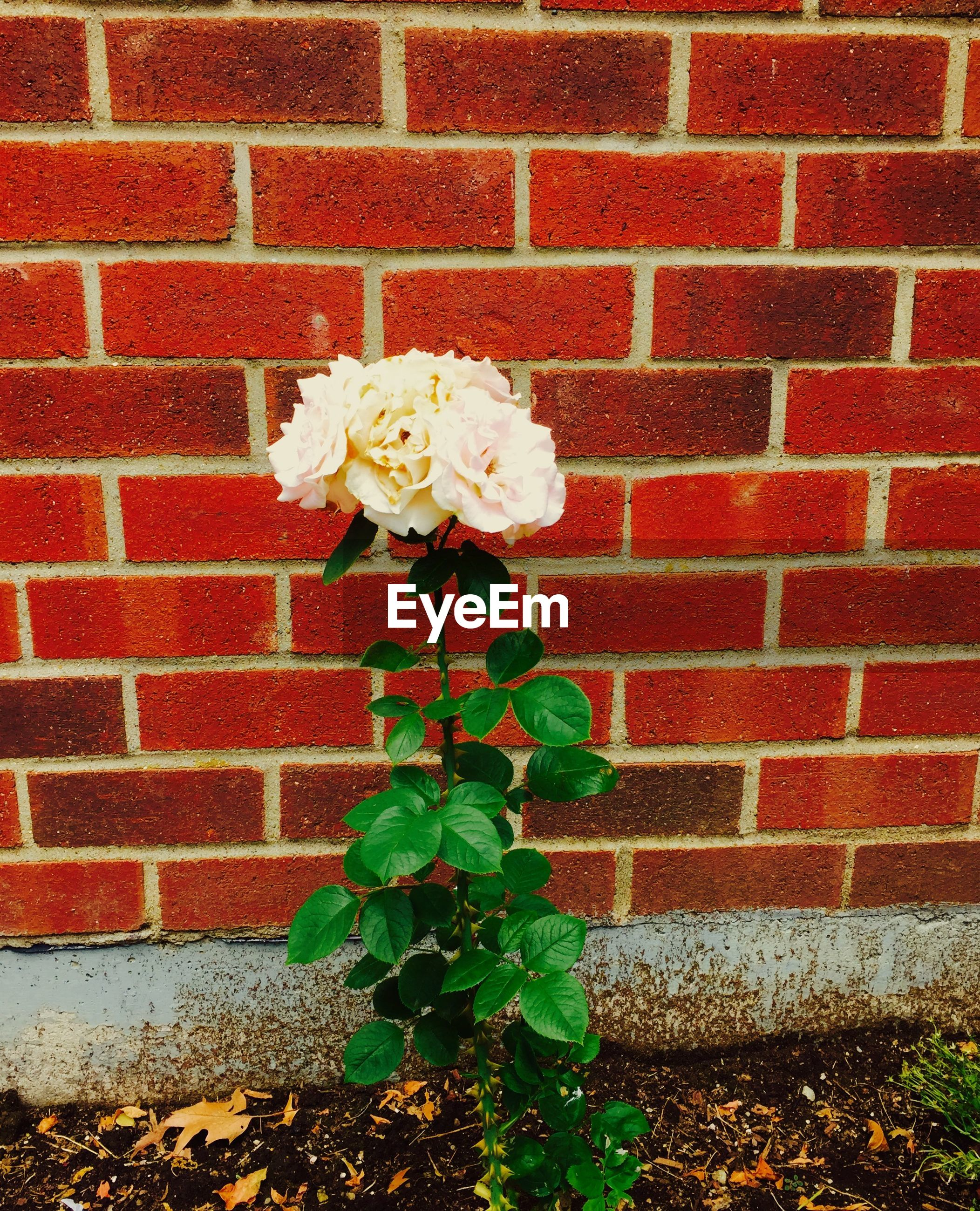Close-up of fresh roses against red brick wall