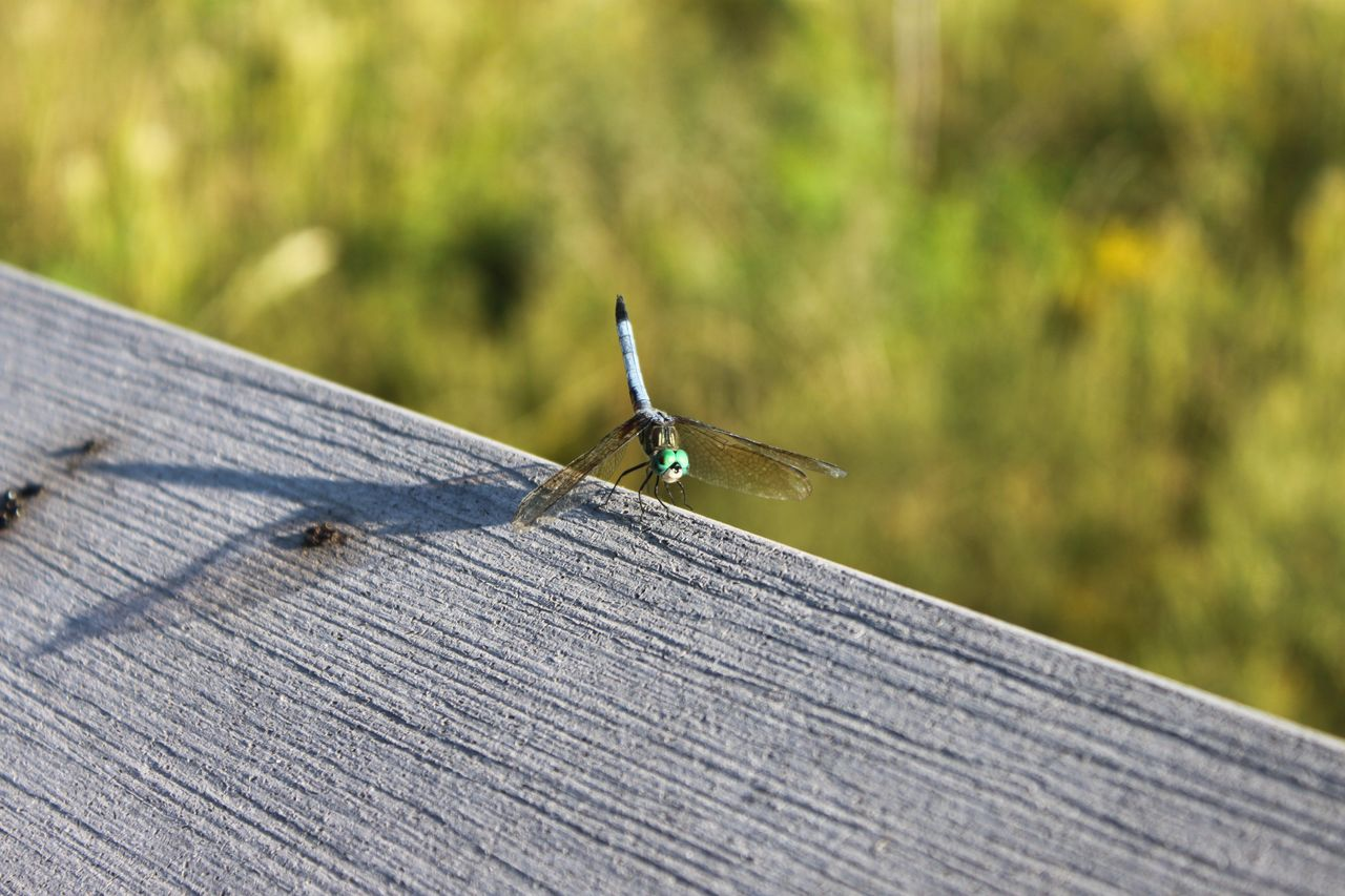 animals in the wild, animal themes, invertebrate, animal, one animal, animal wildlife, day, insect, wood - material, focus on foreground, nature, no people, outdoors, selective focus, close-up, metal, plank, barrier, green color, boundary, nail