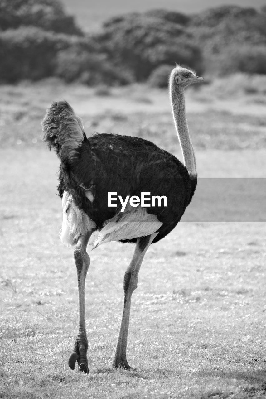 one animal, vertebrate, bird, animal wildlife, animals in the wild, focus on foreground, day, land, nature, no people, field, full length, standing, outdoors, side view, ostrich, animal neck, profile view