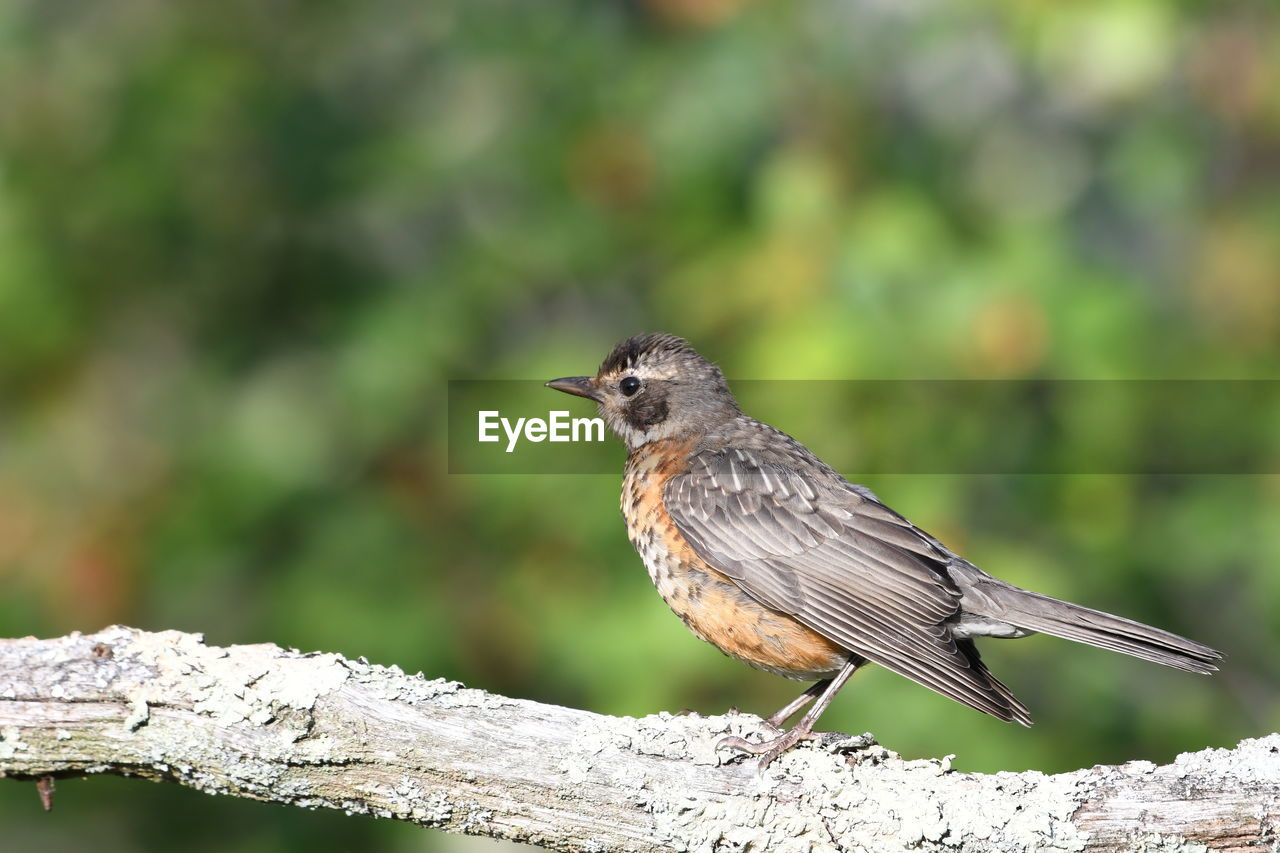 one animal, animals in the wild, animal wildlife, animal themes, bird, animal, vertebrate, perching, focus on foreground, day, close-up, no people, wood - material, full length, nature, tree, robin, outdoors, branch, songbird
