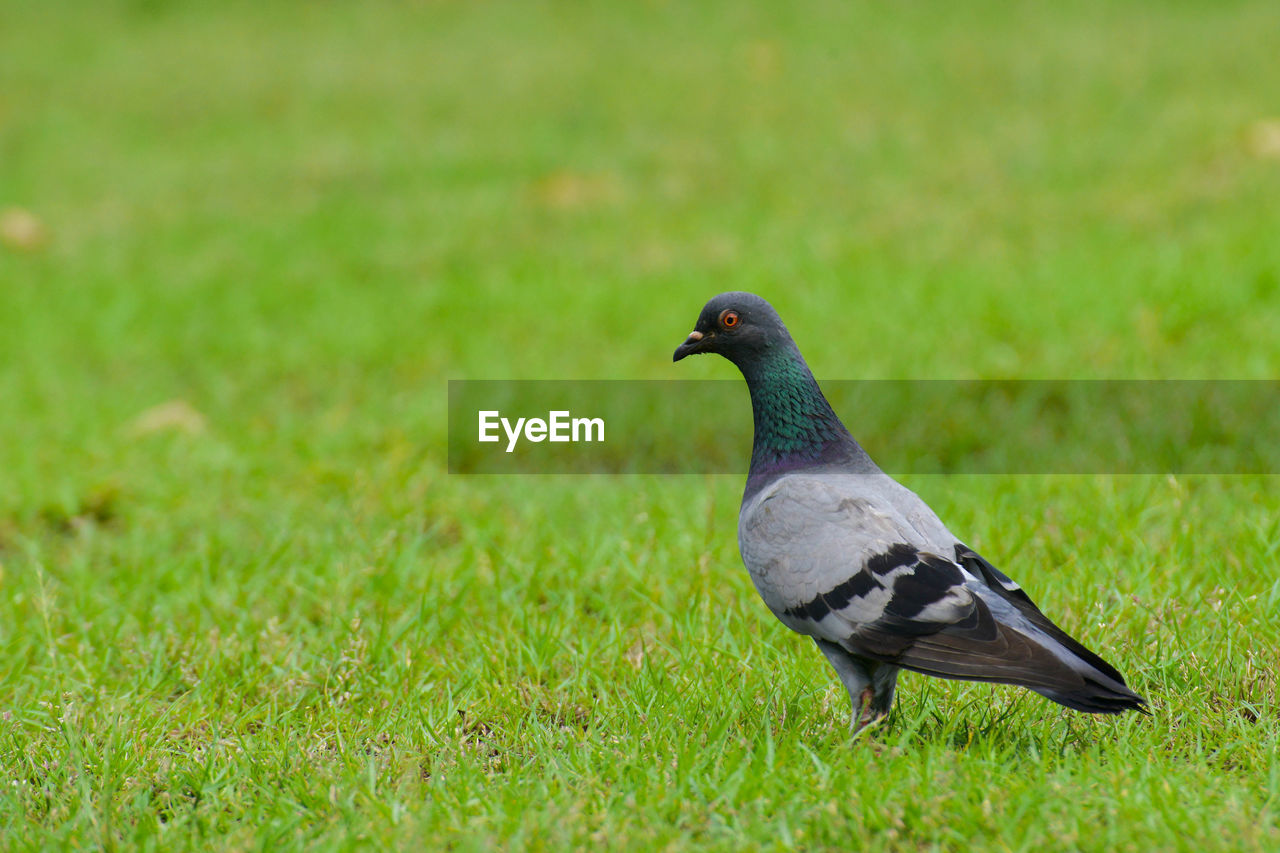 animal wildlife, animal themes, bird, animals in the wild, animal, vertebrate, one animal, grass, no people, field, land, day, green color, plant, nature, focus on foreground, close-up, outdoors, perching, side view