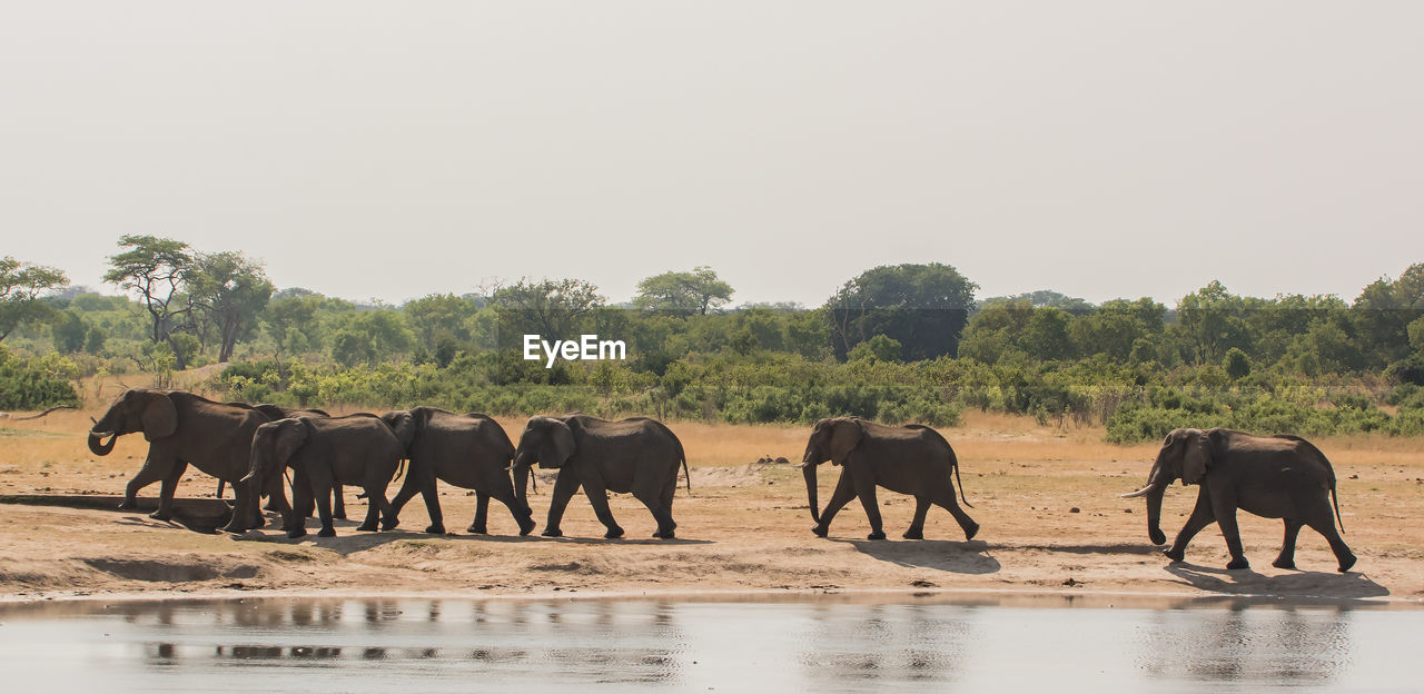 Elephants Walking At Lakeshore