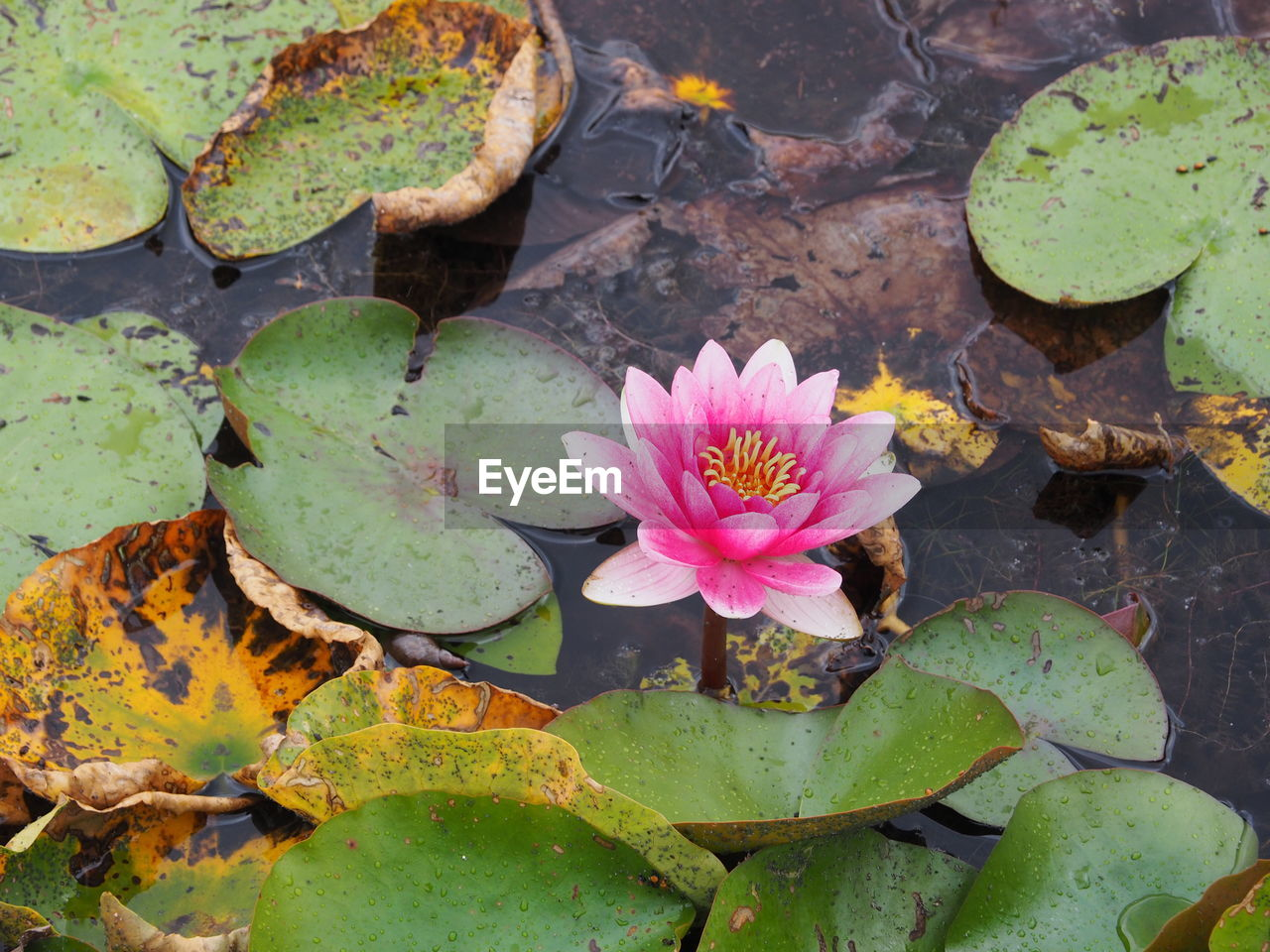 leaf, pond, nature, water lily, flower, beauty in nature, growth, lotus water lily, plant, floating on water, fragility, petal, water, lily pad, freshness, no people, day, outdoors, lotus, close-up, flower head