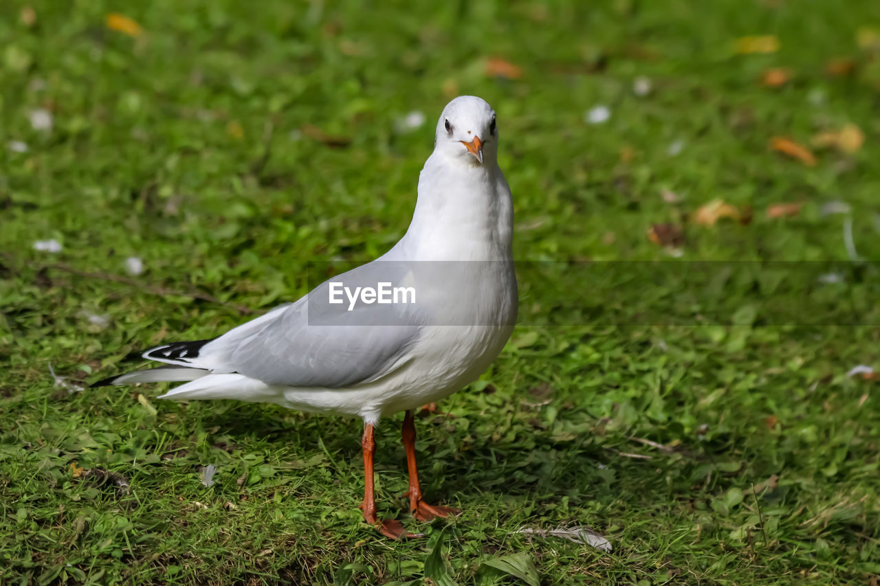 animal themes, bird, animals in the wild, vertebrate, animal wildlife, animal, one animal, land, grass, field, green color, plant, no people, nature, white color, day, focus on foreground, outdoors, perching, growth, seagull
