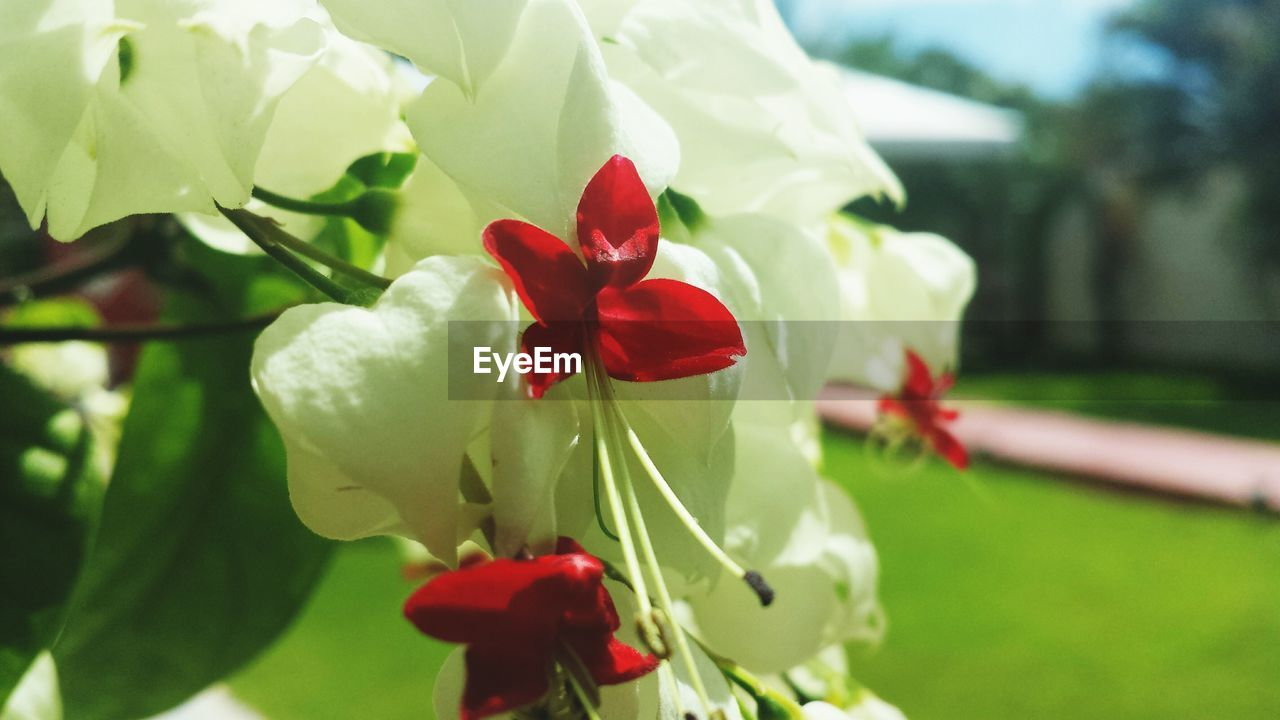 White And Red Flower Blooming In Garden