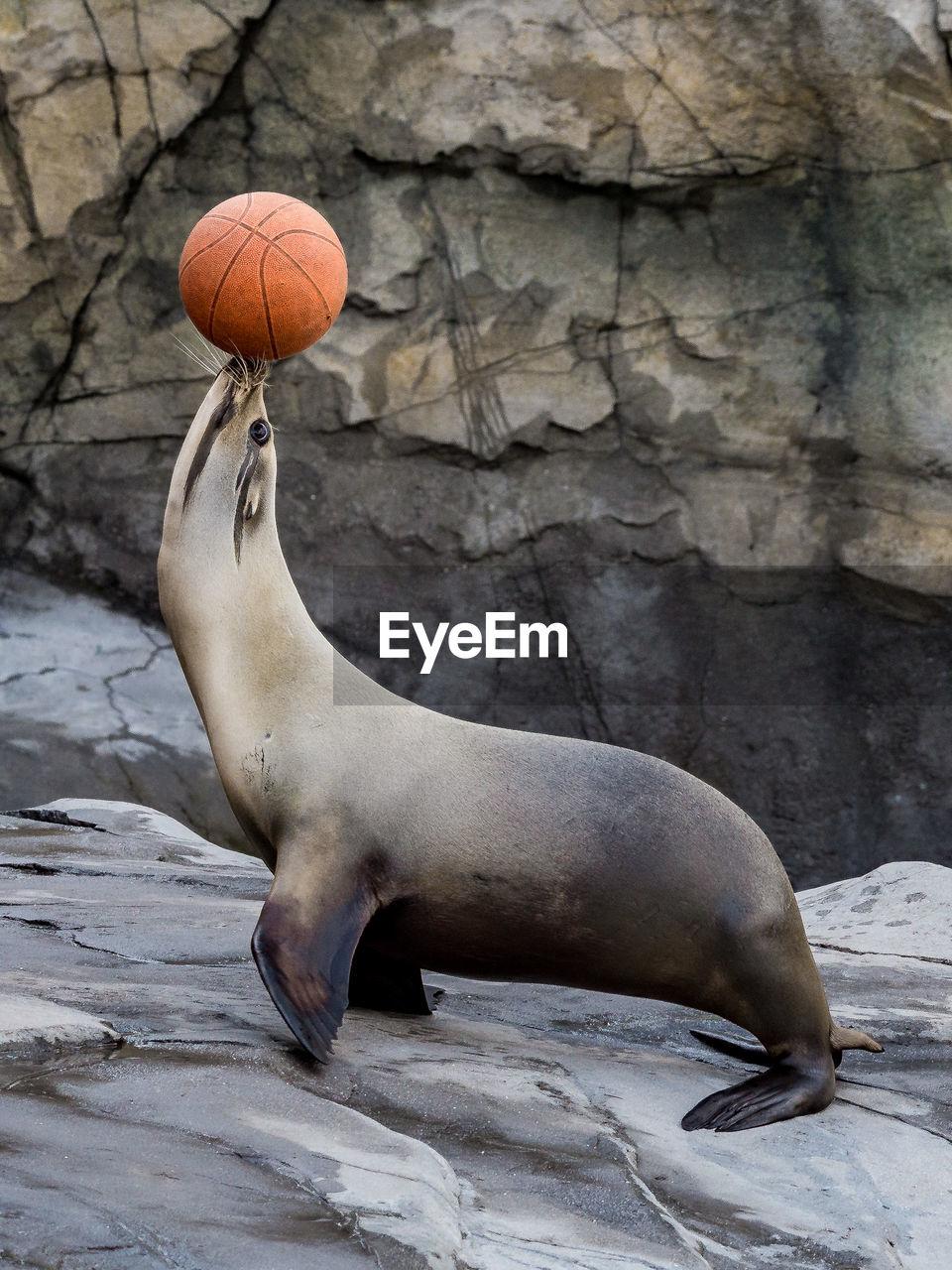Side View Of Sea Lion Balancing Basketball At Zoo