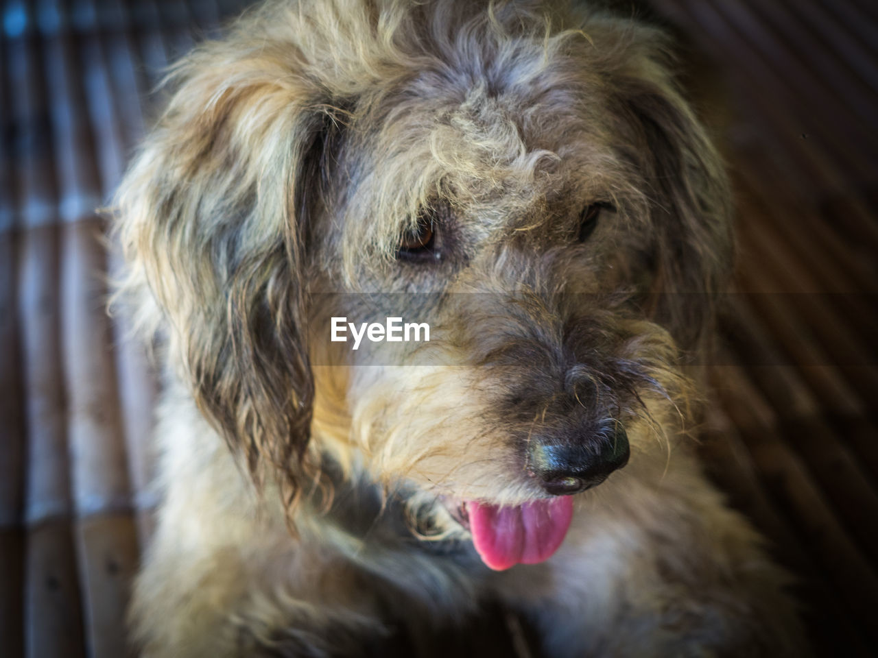 one animal, domestic, pets, mammal, animal themes, animal, domestic animals, canine, dog, vertebrate, close-up, animal body part, focus on foreground, brown, indoors, animal head, no people, animal hair, looking, portrait, animal tongue, snout, animal mouth