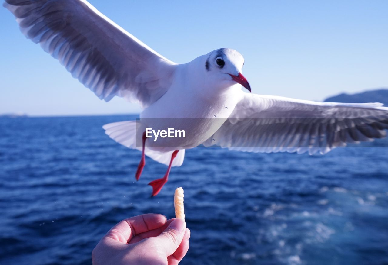 bird, human hand, vertebrate, animal, animal themes, animals in the wild, hand, holding, animal wildlife, human body part, day, one animal, focus on foreground, one person, sea, seagull, food, eating, real people, flying, body part, outdoors, finger, human limb