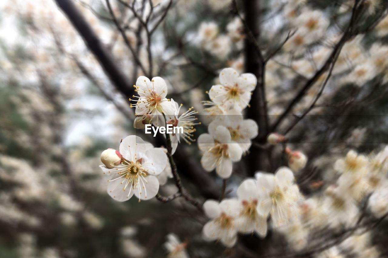flower, flowering plant, fragility, plant, vulnerability, freshness, growth, beauty in nature, tree, white color, close-up, blossom, springtime, branch, day, flower head, cherry blossom, petal, pollen, focus on foreground, no people, cherry tree, outdoors, plum blossom, spring