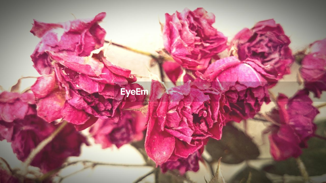 flower, fragility, petal, beauty in nature, nature, close-up, freshness, growth, no people, flower head, plant, pink color, day, outdoors, bougainvillea, red
