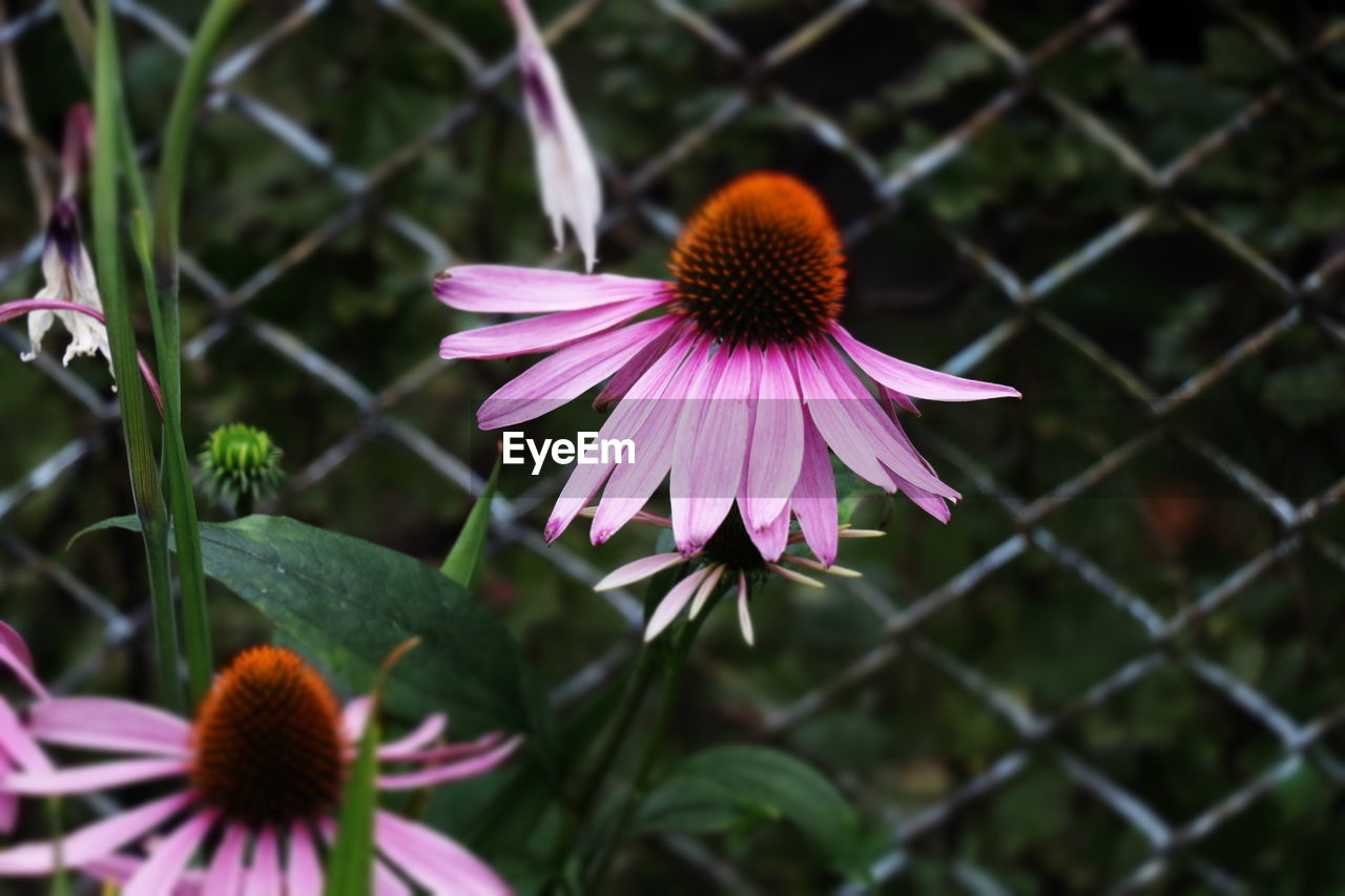 flowering plant, petal, vulnerability, plant, fragility, flower, growth, freshness, beauty in nature, flower head, inflorescence, coneflower, close-up, focus on foreground, pollen, nature, day, no people, purple, outdoors
