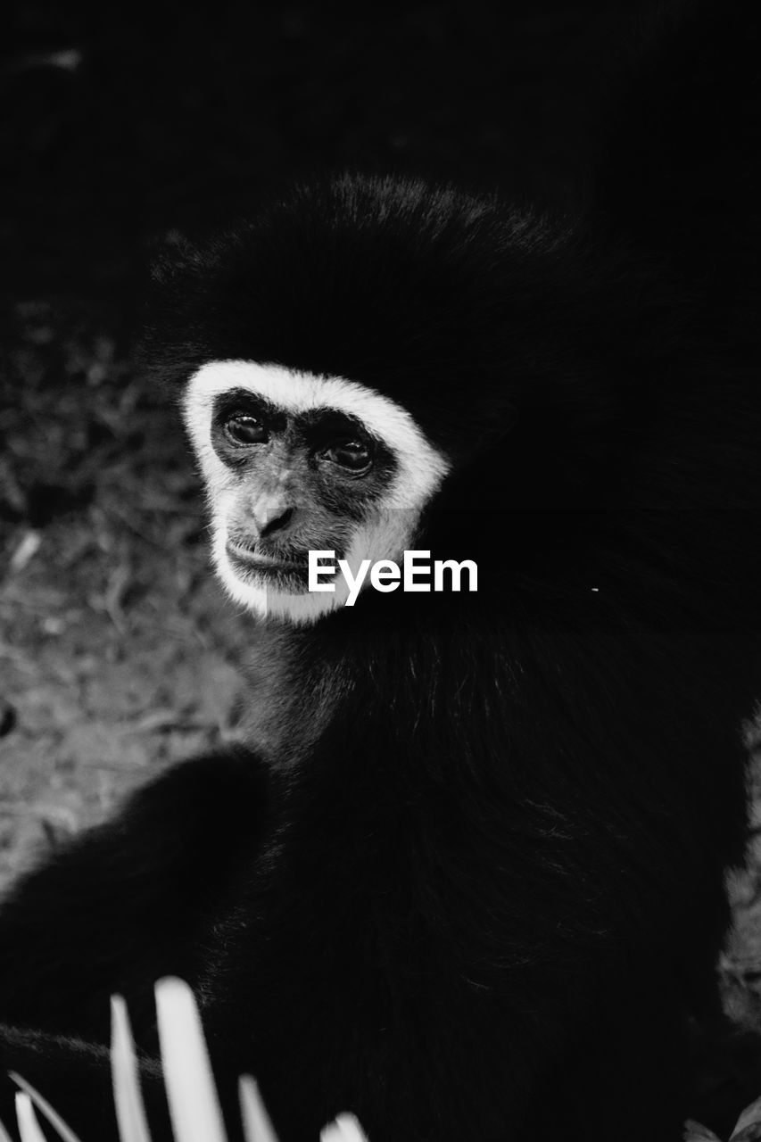 one animal, mammal, animal wildlife, primate, animals in the wild, vertebrate, no people, close-up, portrait, looking, looking away, animal body part, focus on foreground, zoo, animal eye