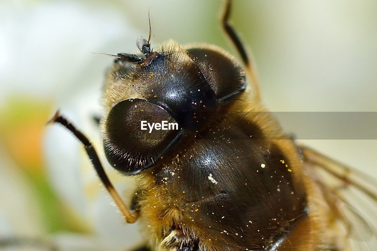 insect, invertebrate, animal themes, animal, animal wildlife, animals in the wild, one animal, close-up, bee, focus on foreground, macro, day, animal body part, extreme close-up, animal wing, beauty in nature, no people, animal eye, selective focus, nature, outdoors, animal head, pollination