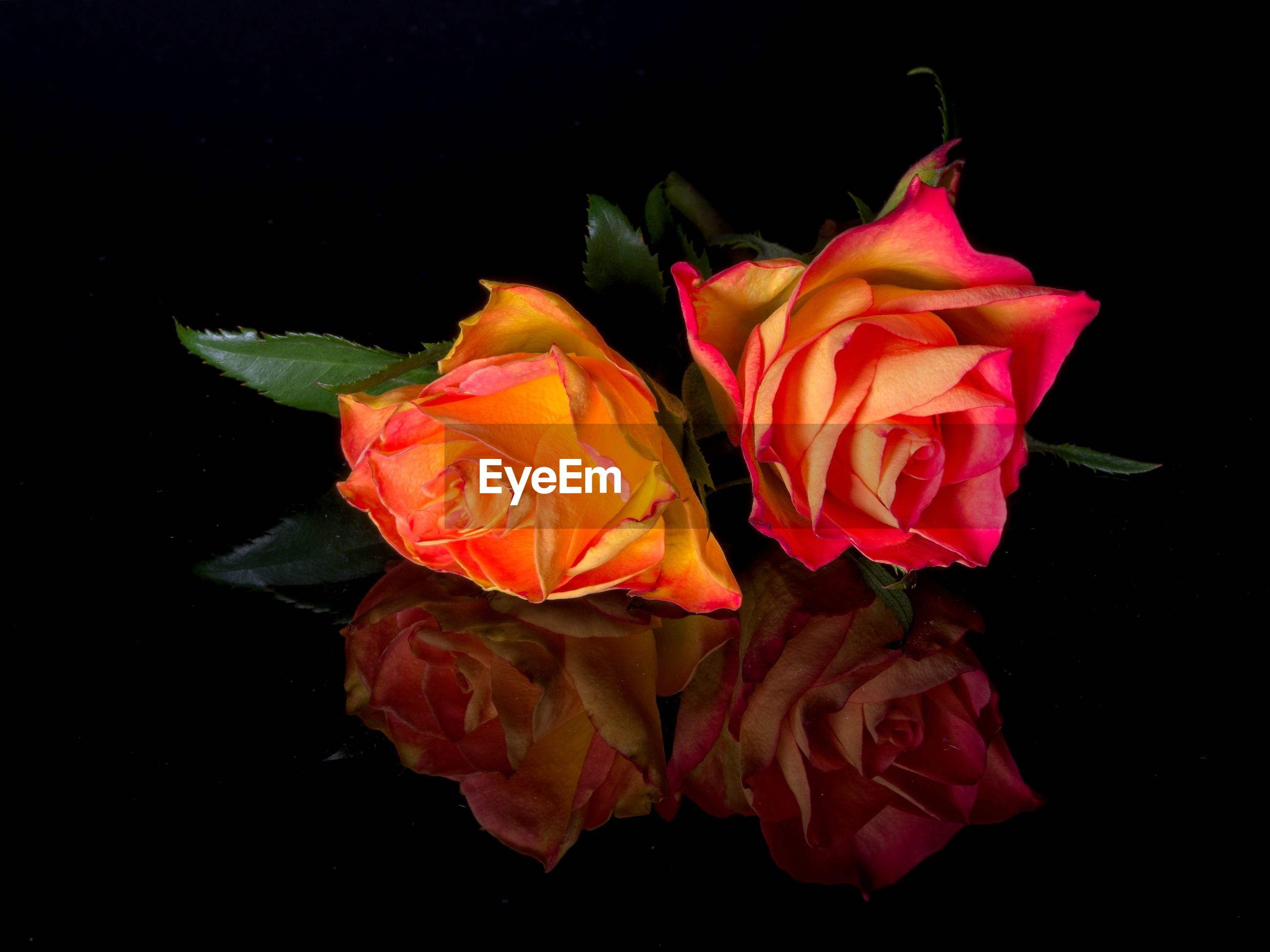 Close-up of roses on black background