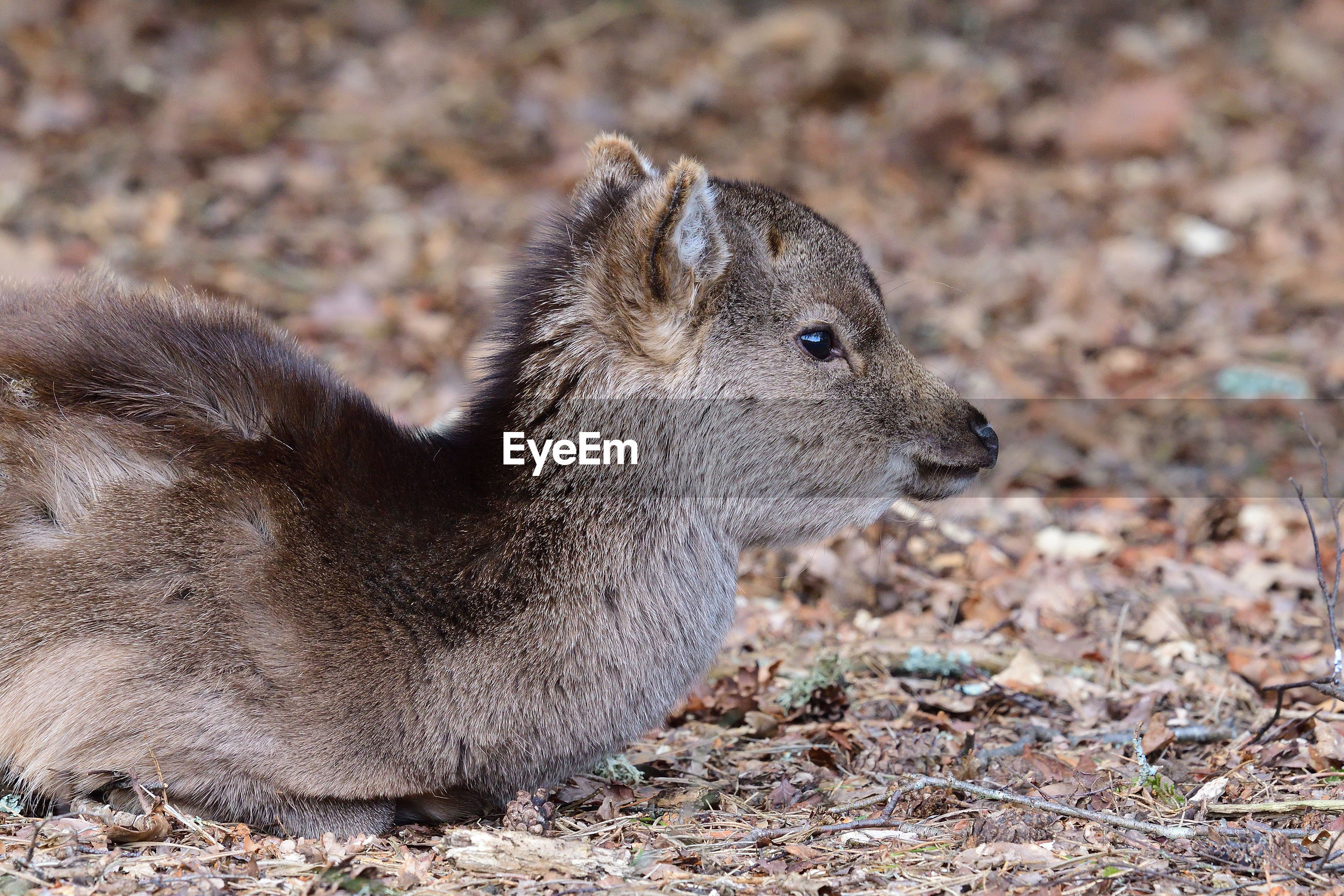 Portrait of a sika deer  sitting on the ground in the woods