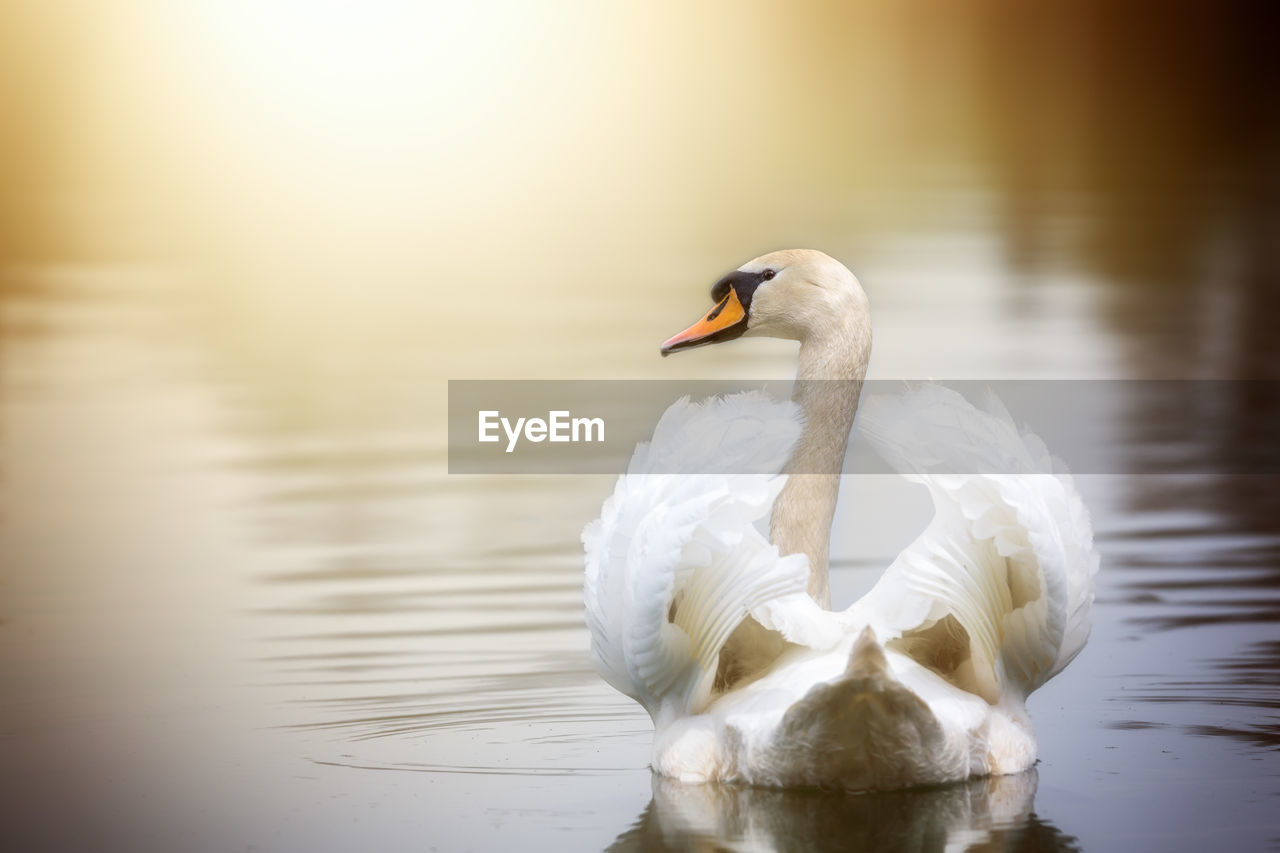 one animal, animals in the wild, animal themes, lake, water, reflection, white color, swan, animal wildlife, no people, nature, swimming, bird, water bird, waterfront, day, beauty in nature, outdoors, close-up