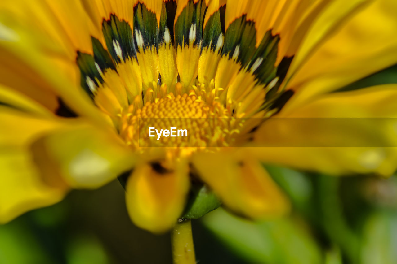 yellow, flower, petal, fragility, beauty in nature, growth, nature, freshness, flower head, close-up, plant, gazania, pollen, outdoors, day, blooming, sunflower, no people