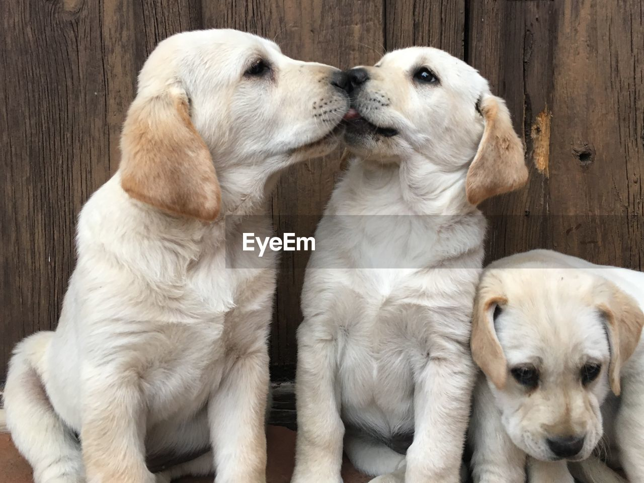 dog, pets, canine, domestic, mammal, domestic animals, animal themes, group of animals, animal, two animals, puppy, young animal, togetherness, retriever, no people, vertebrate, close-up, relaxation, indoors, animal family
