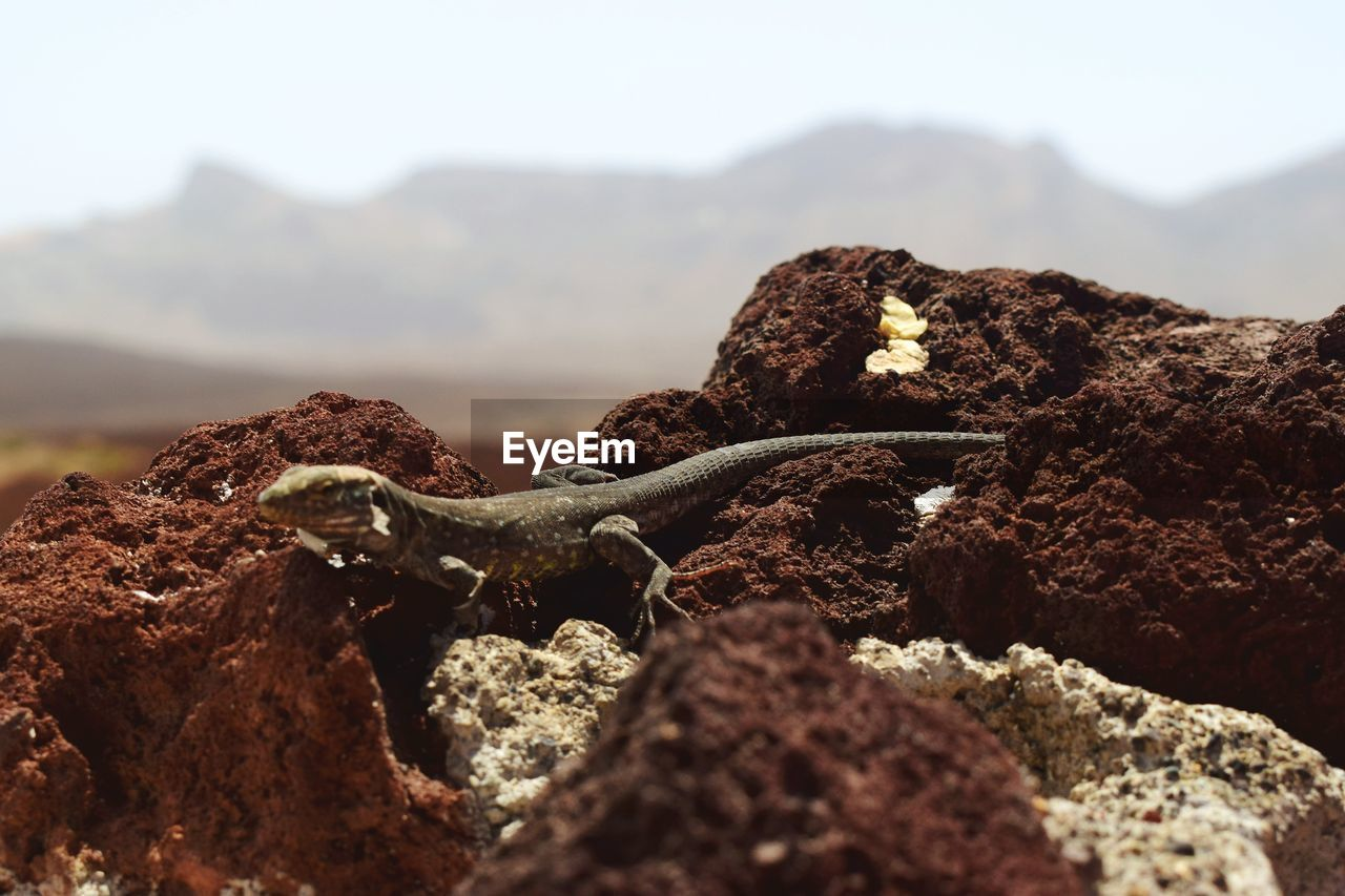 mountain, animal themes, animal, rock, solid, nature, rock - object, no people, animal wildlife, day, one animal, animals in the wild, selective focus, vertebrate, sky, close-up, mountain range, outdoors, lizard, focus on foreground