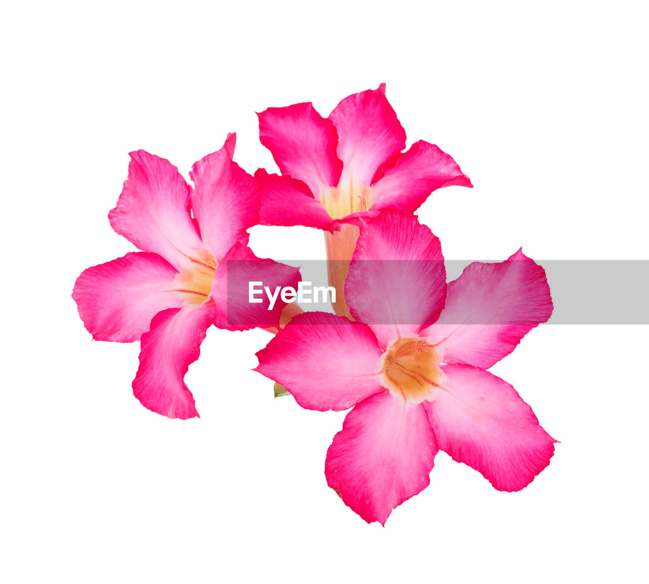 flowering plant, flower, petal, studio shot, beauty in nature, vulnerability, fragility, pink color, freshness, white background, close-up, inflorescence, flower head, plant, indoors, cut out, no people, nature, copy space, growth