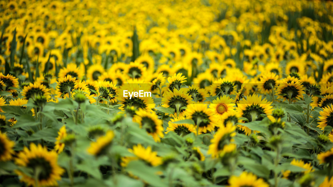 yellow, flower, nature, growth, beauty in nature, field, plant, selective focus, sunflower, oilseed rape, mustard plant, fragility, crop, abundance, tranquility, no people, tranquil scene, flower head, agriculture, landscape, day, blooming, rural scene, freshness, outdoors, travel destinations, close-up