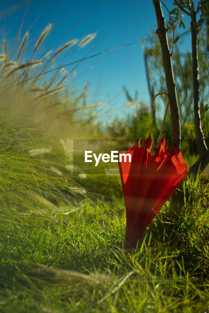 plant, grass, field, growth, nature, land, green color, day, no people, red, close-up, selective focus, beauty in nature, outdoors, sky, tranquility, tree, sunlight, focus on foreground, environment