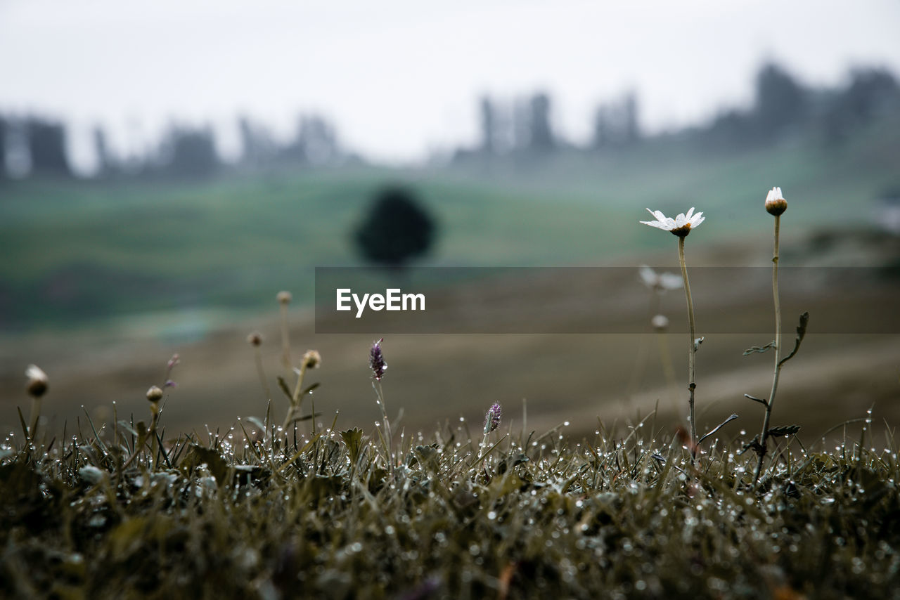 plant, field, growth, selective focus, land, beauty in nature, nature, no people, day, tranquility, close-up, flower, water, focus on foreground, outdoors, grass, flowering plant, tranquil scene, vulnerability