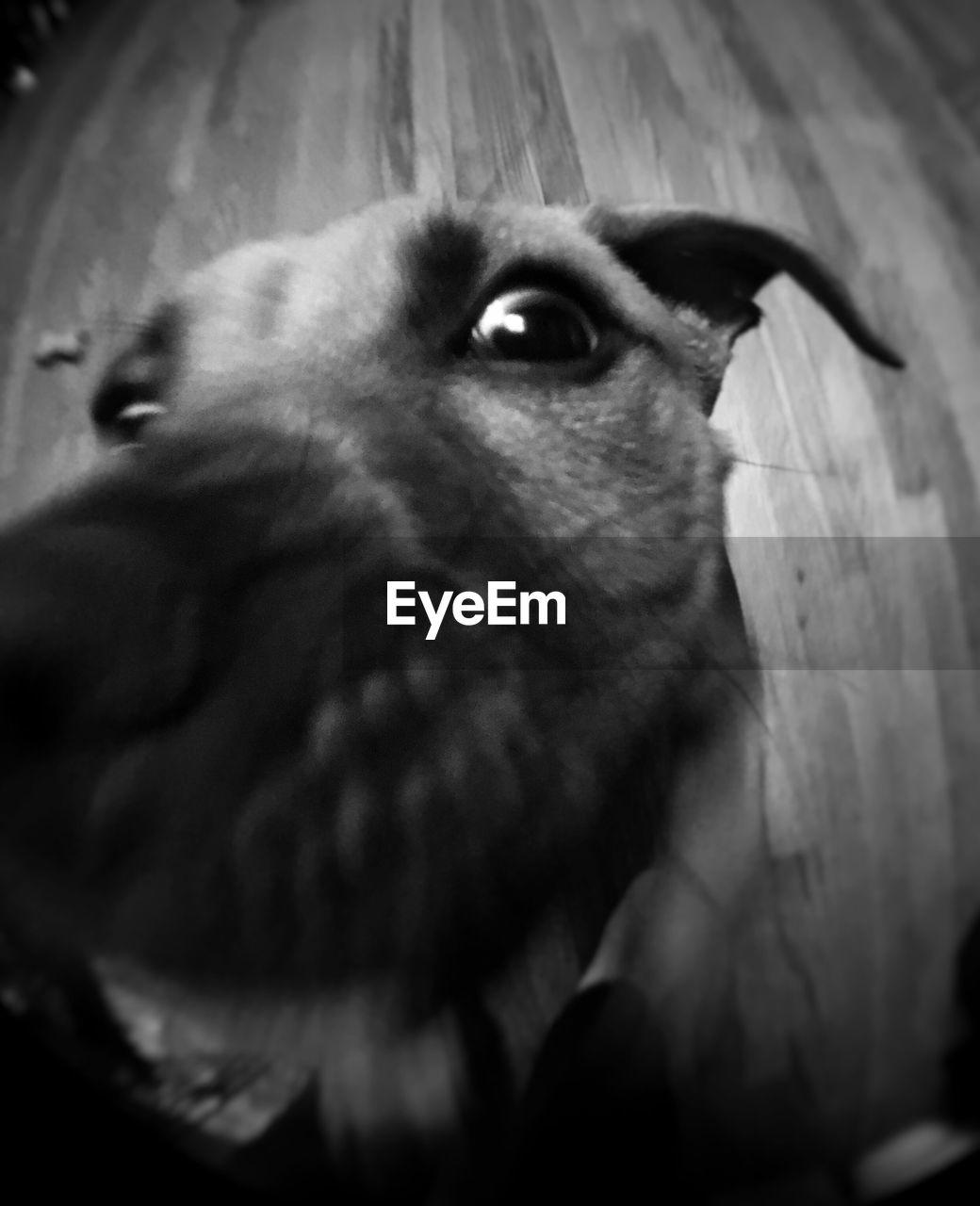 domestic animals, animal themes, one animal, pets, dog, mammal, animal head, close-up, indoors, no people, animal nose, day