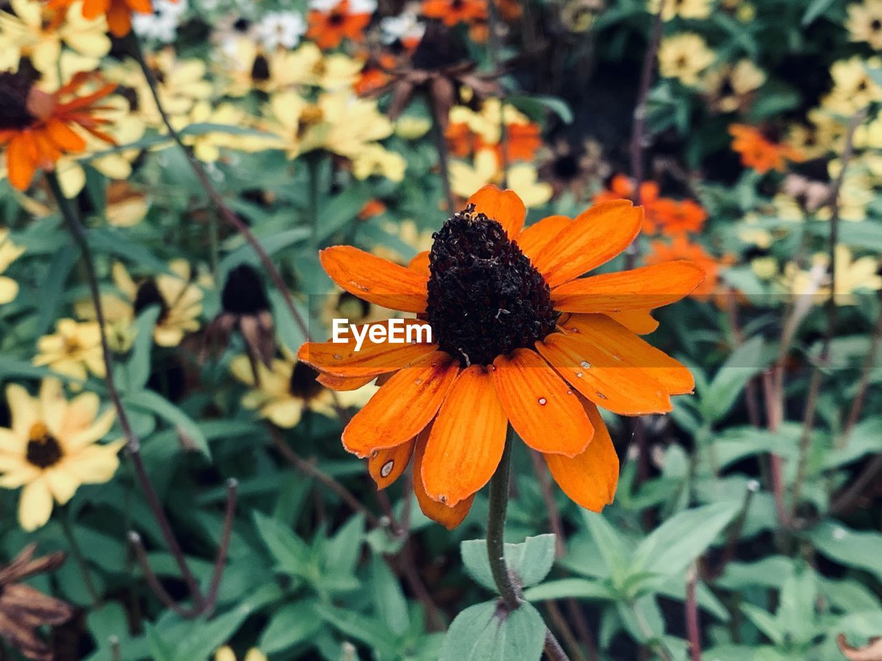 CLOSE-UP OF ORANGE DAISY