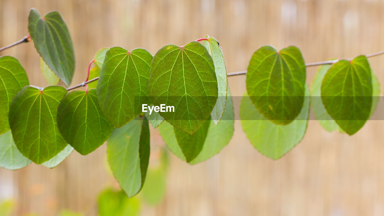 leaf, plant part, green color, plant, growth, close-up, focus on foreground, nature, no people, beauty in nature, day, freshness, selective focus, leaves, outdoors, vulnerability, food and drink, food, twig, fragility
