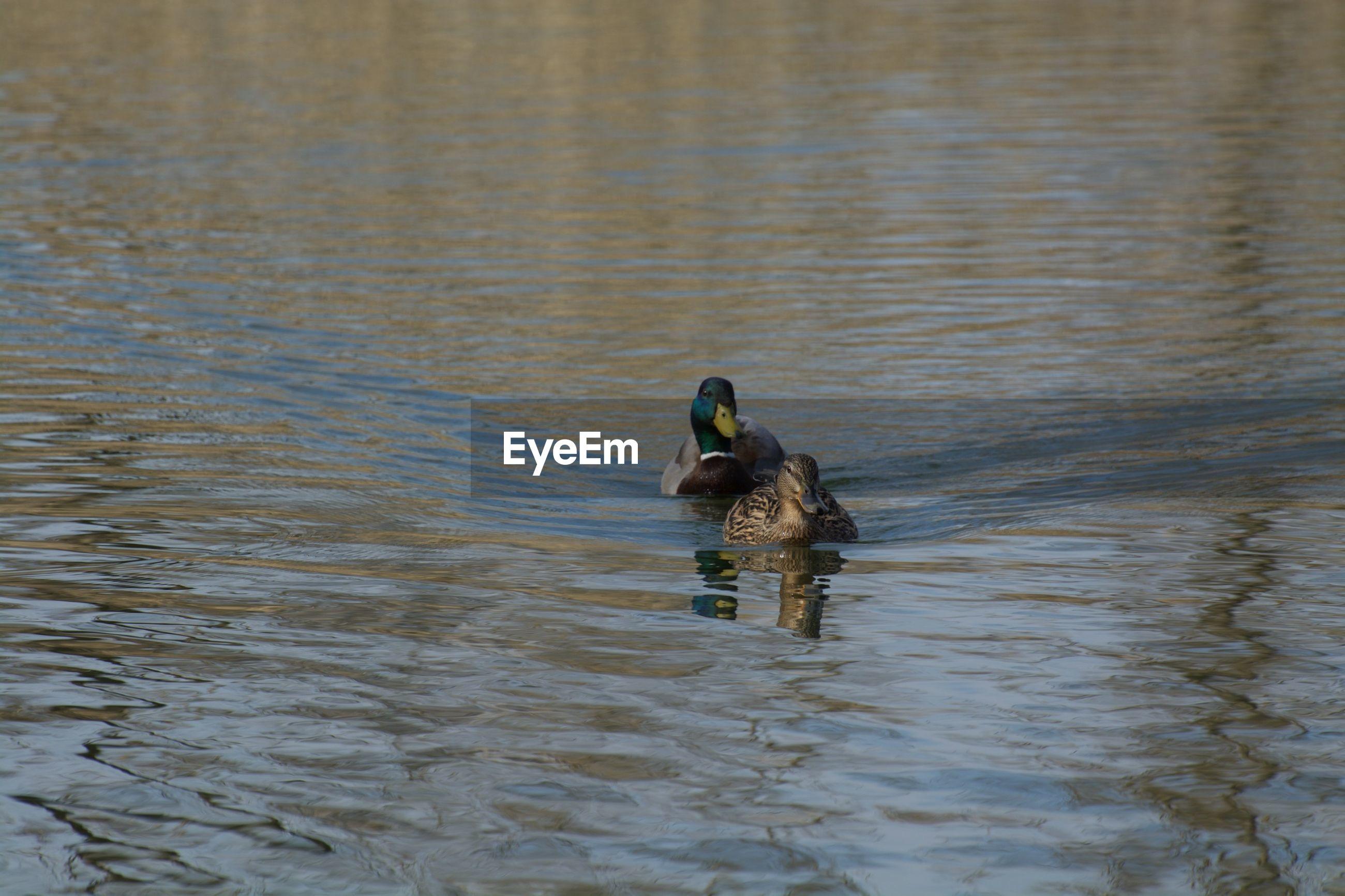 Mallard ducks floating on lake