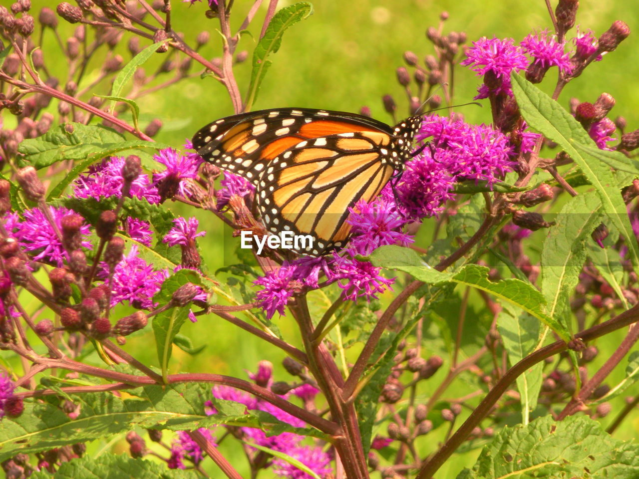 flower, plant, beauty in nature, flowering plant, animal wing, animal themes, butterfly - insect, animal wildlife, insect, animal, invertebrate, one animal, fragility, vulnerability, freshness, animals in the wild, growth, petal, pink color, nature, purple, flower head, no people, pollination, outdoors, springtime, butterfly