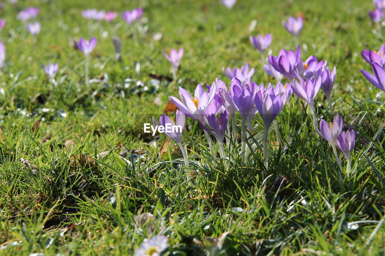 flower, flowering plant, plant, freshness, beauty in nature, growth, fragility, purple, vulnerability, petal, iris, crocus, field, close-up, land, nature, selective focus, no people, day, flower head, outdoors, springtime