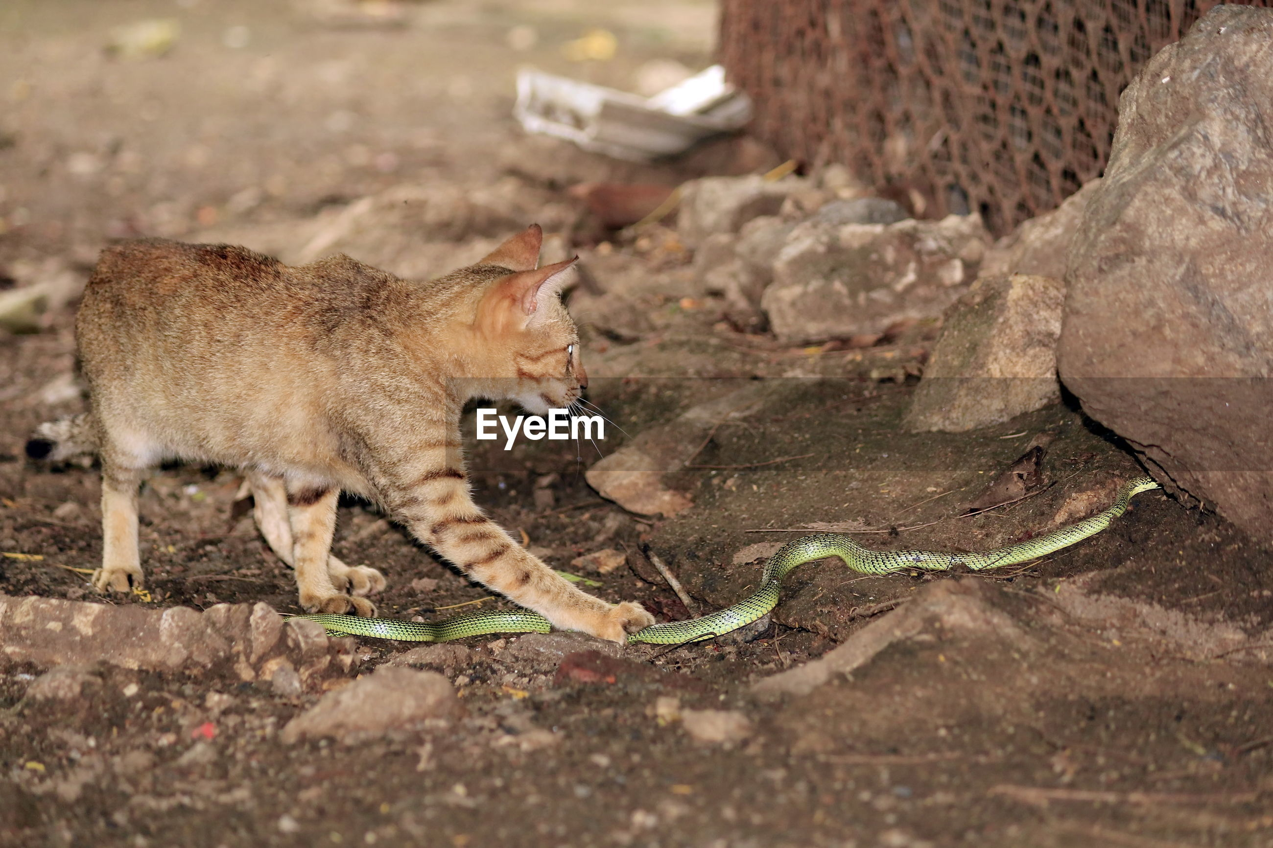 Predator cats are fighting with green snakes