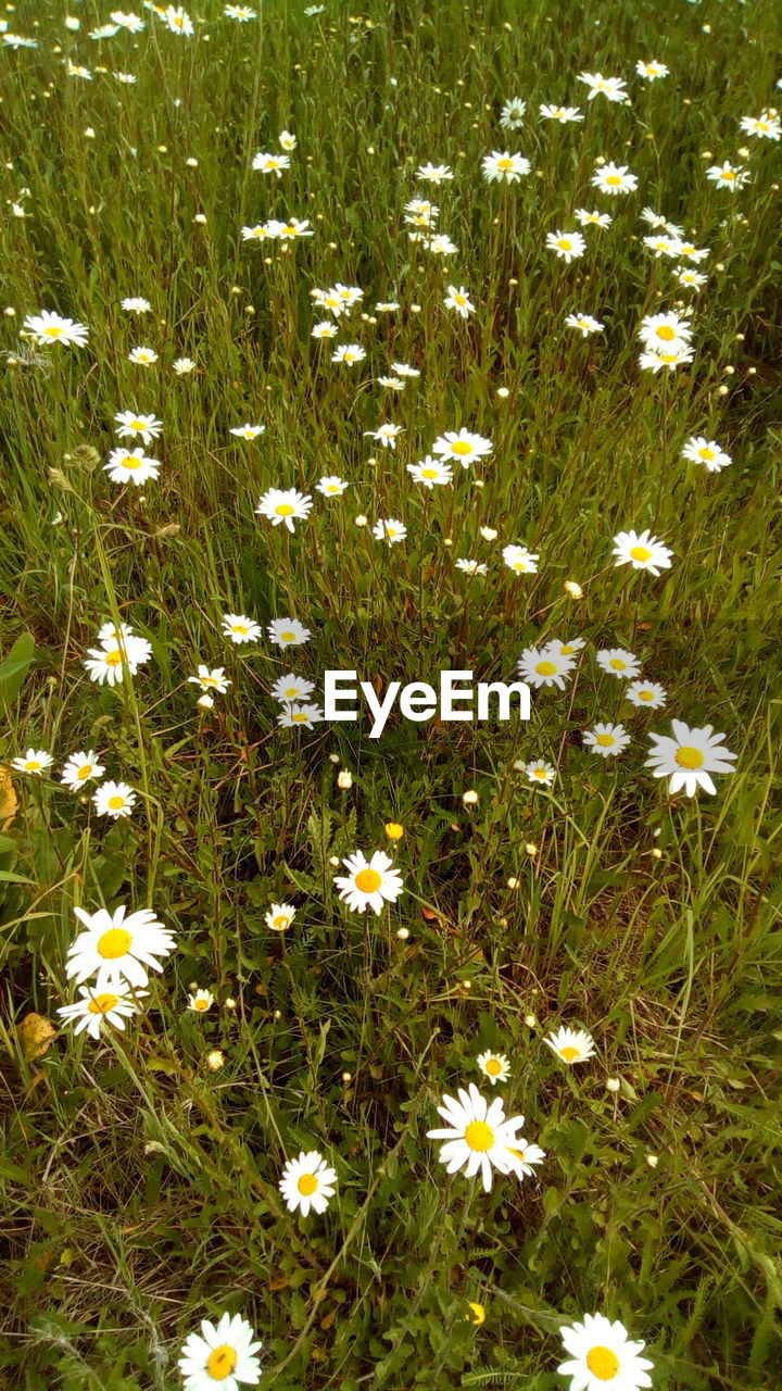 plant, flower, flowering plant, vulnerability, fragility, growth, beauty in nature, nature, freshness, field, land, grass, no people, daisy, petal, backgrounds, high angle view, close-up, day, green color, outdoors, flower head