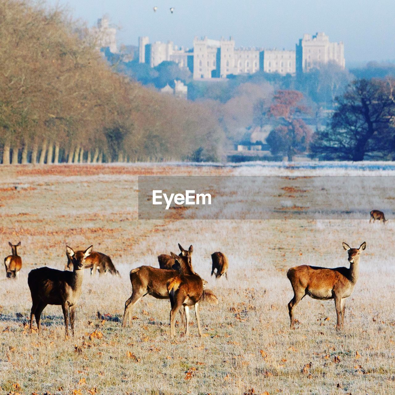 Herd Of Deer On Field In Uk