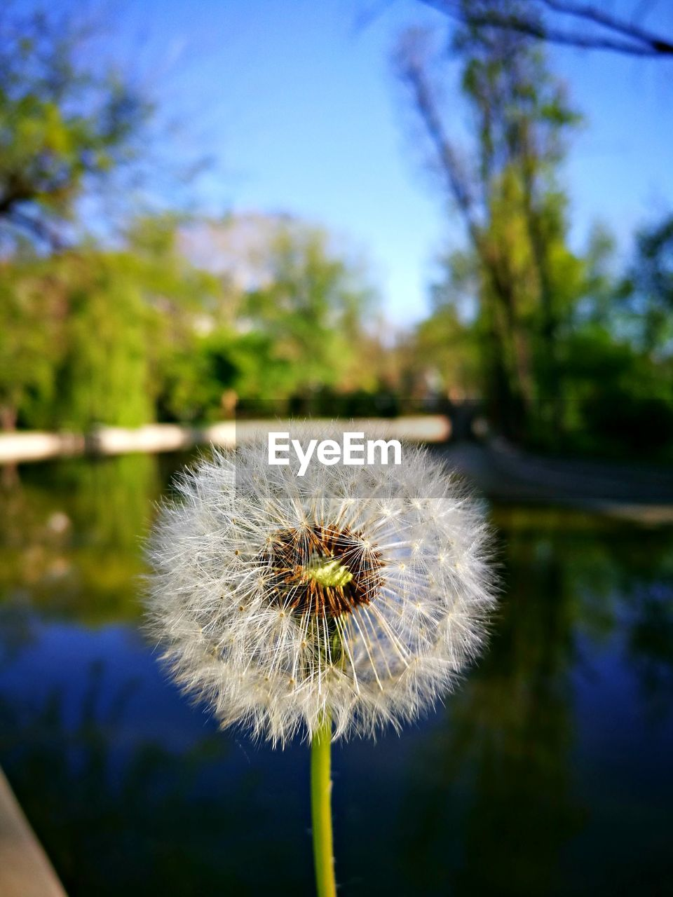 plant, flower, flowering plant, fragility, freshness, vulnerability, beauty in nature, dandelion, focus on foreground, growth, inflorescence, close-up, flower head, nature, day, no people, sky, outdoors, blue, dandelion seed, softness