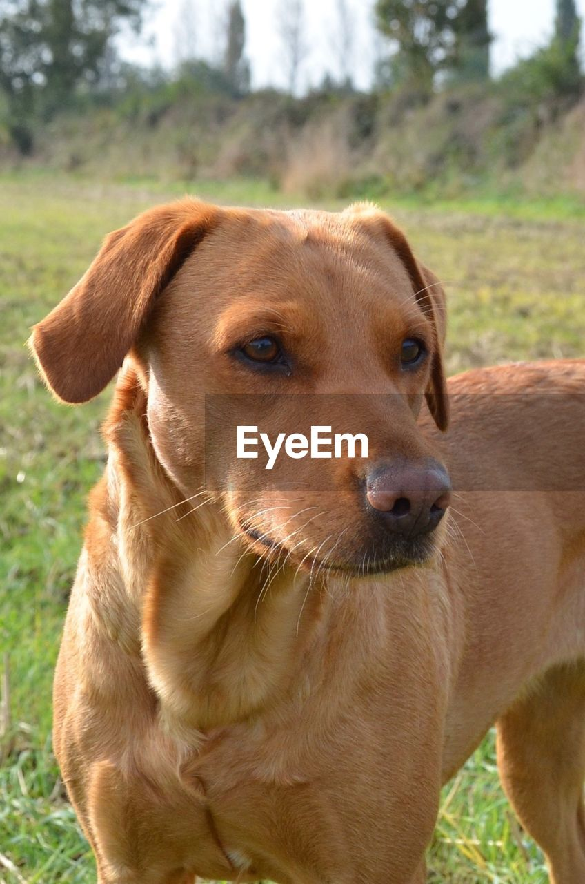 Portrait Of Brown Dog
