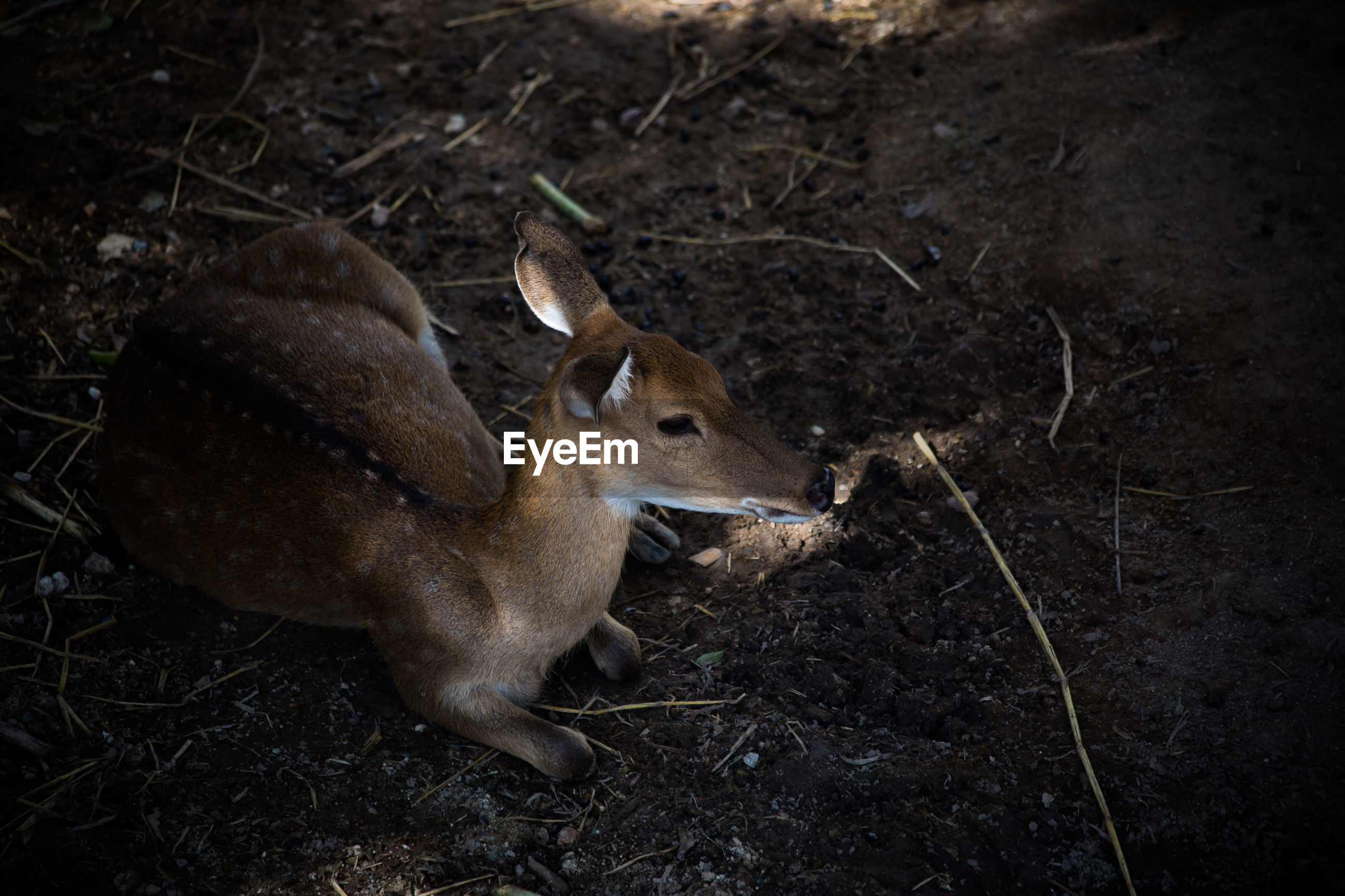 High angle view of deer resting on field