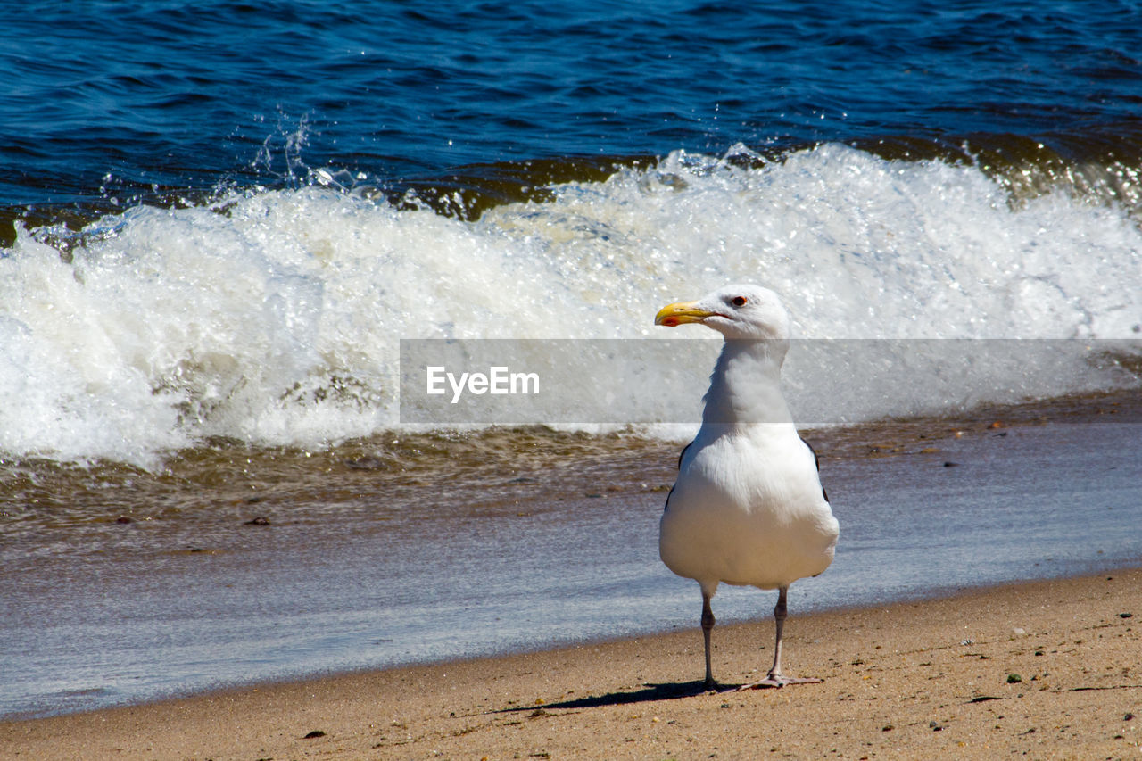 water, sea, beach, animal themes, land, animal, animal wildlife, motion, wave, vertebrate, bird, one animal, animals in the wild, seagull, nature, day, no people, white color, outdoors